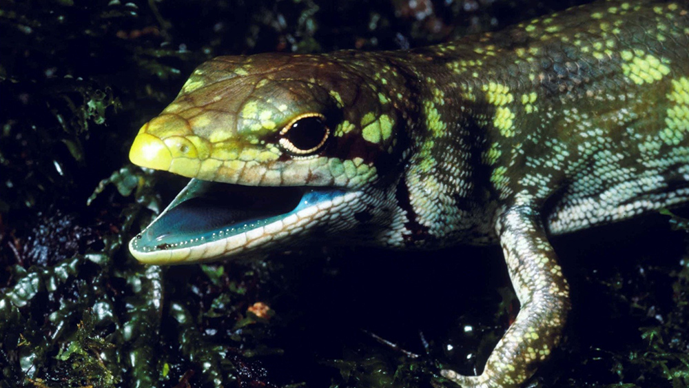 Could Designed Systems Explain Green Lizard Blood?