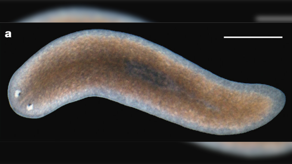 Planaria Genome Loaded with Design Evidence