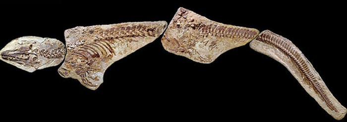 Extraordinary Mosasaur Fossil Reveals Original Soft Tissues