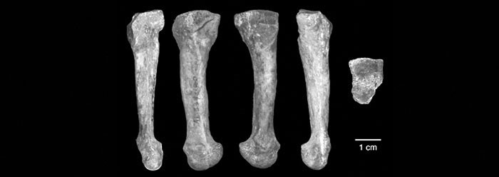 lucy's' new foot bone is actually human | the institute for, Skeleton