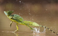 Jesus Lizard Runs on Water, Tramples Evolution
