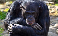 Is Chimp Grief Evidence of Evolution?