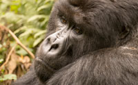 Gorillas, Endangerment, and Evolutionary Morality