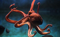 Octopus Genome as Large as Human Genome