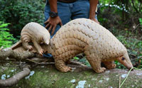 The Pangolin: A Mammal with Lizard Scales