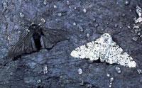 Peppered Moth Still Not Evolving