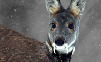 Saber-Toothed Deer Alive in Afghanistan
