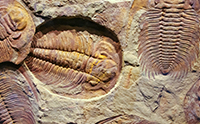 Trilobites Can't Stomach Darwinism