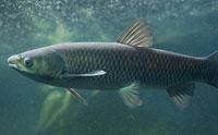 Wild Carp Rapidly Regrow Scales
