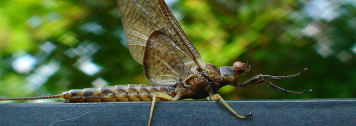 Insect Fossils And Evolution Insect Fossil Flies in The