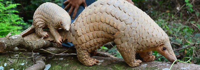 the pangolin a mammal with lizard scales the institute for