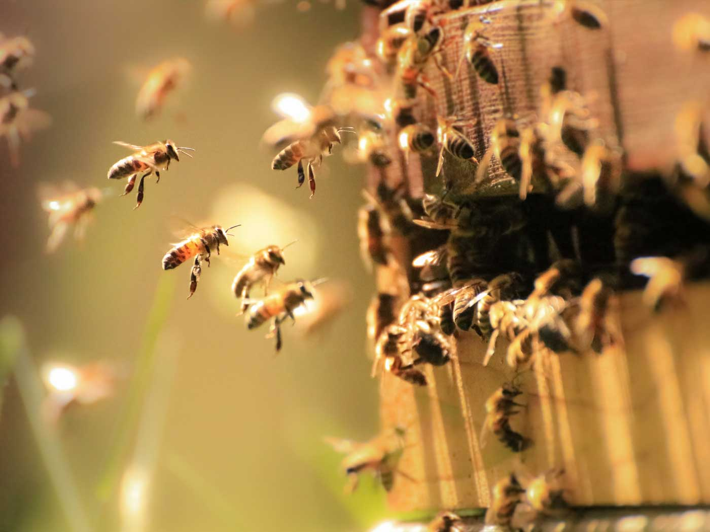 Honeybees: How Sweet It Is, Again