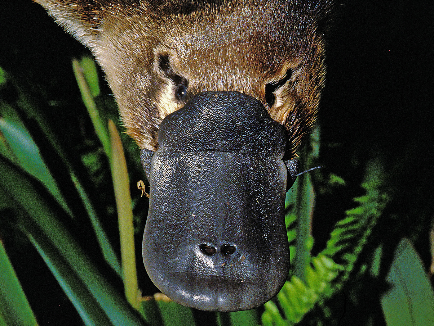 Does Oddball Platypus Genome Reveal Its Origins?