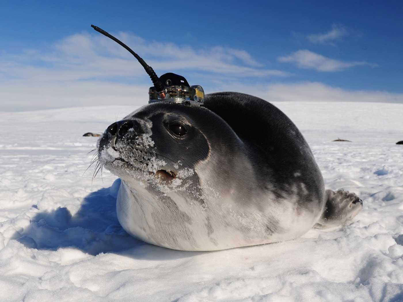 Seals Help Swedes to Chart 'Paths of the Seas'