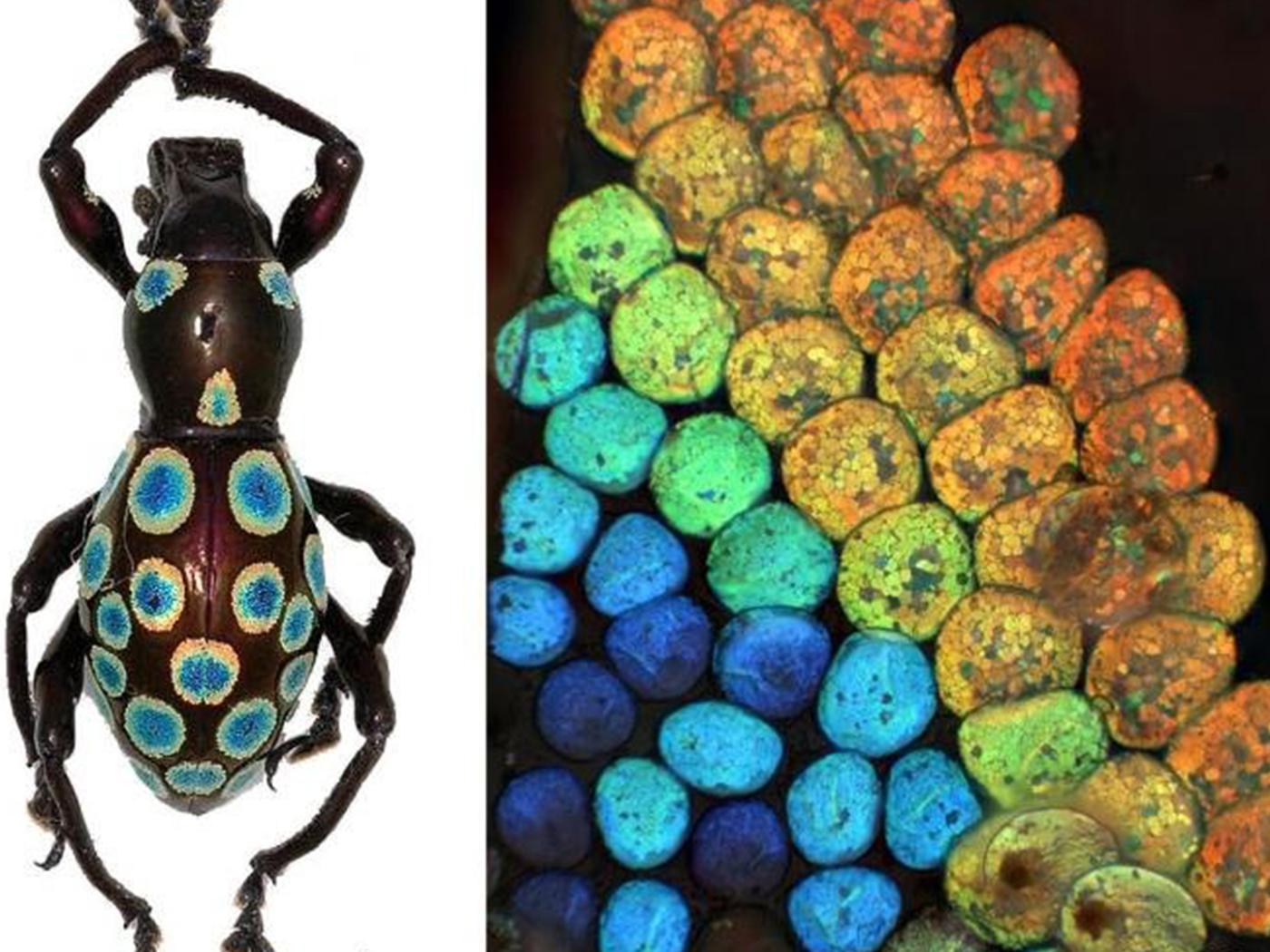 Complex Engineering in Weevils Befuddles Evolution