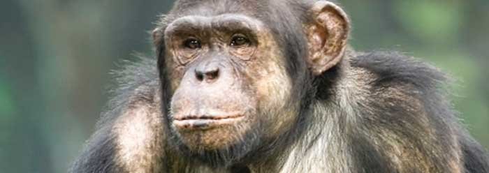 First Phase Complete in Human and Chimp Genome-Wide DNA Comparison