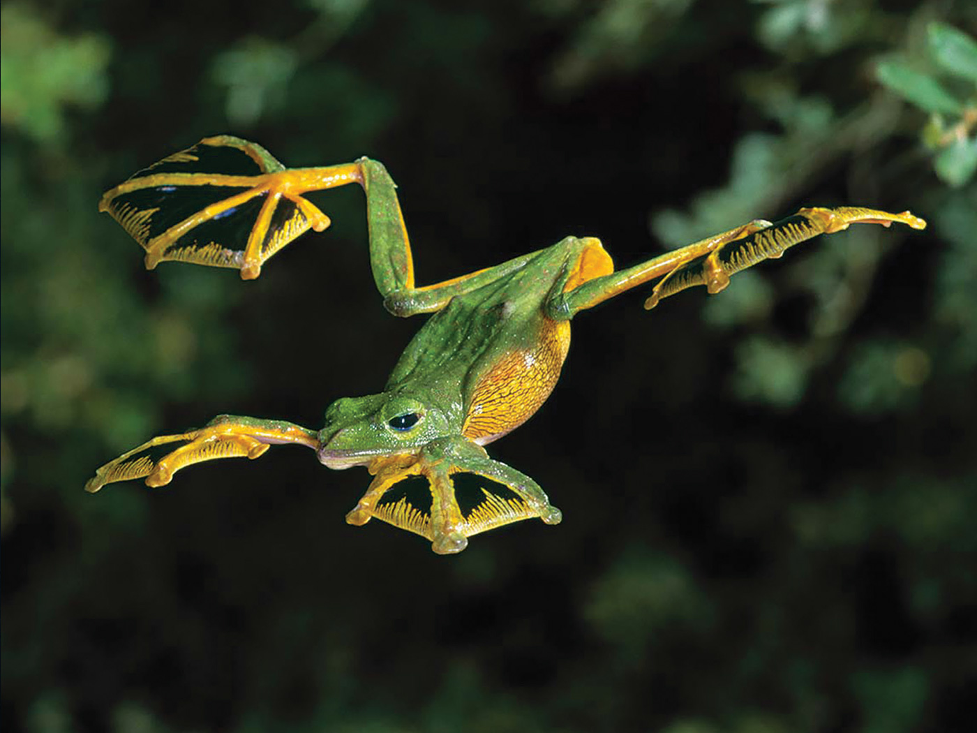 Image result for flying frog