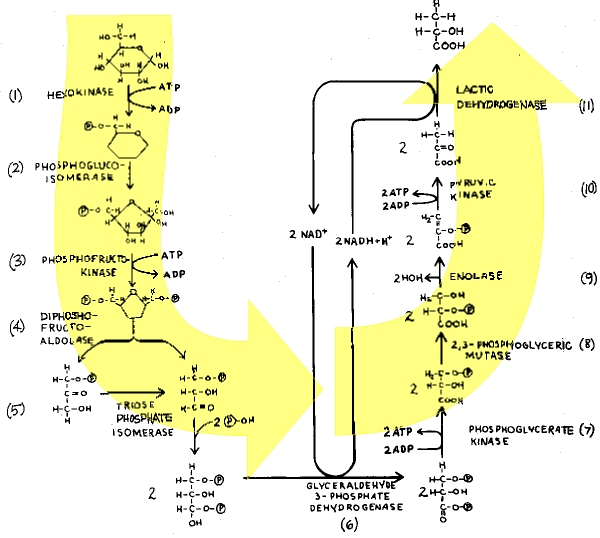 Glycolysis And Alcoholic Fermentation The Institute For Creation