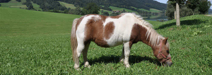 Miniature Horse Poised to Break Record | The Institute for ...Full Grown Mini Horse